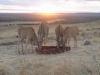 Die elande wei rustig aan Suid-Afrika se Weskus.