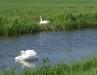 Broeiende swaan op agtergrond, met pa wat die waters paradeer. Foto geneem buite Leeuwarden, Friesland. (Paula Meijer)
