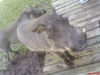Vlakvark by ons vakansieplekkie in Marlof Park. (Meri Ferreira)