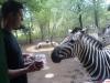 Die zebras neem oor by ons vakansieplekkie in Marlof Park. (Meri Ferreira)
